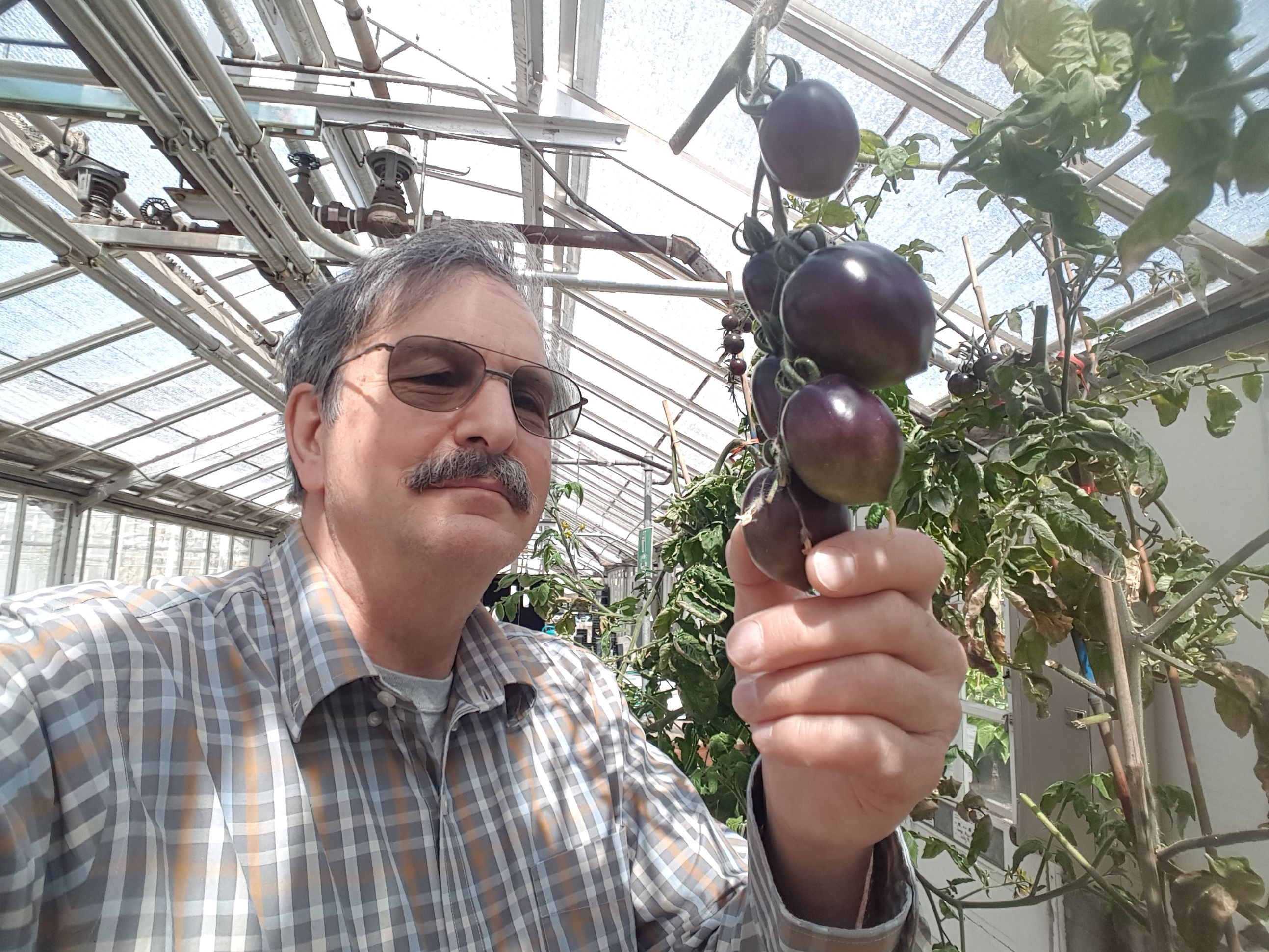 Move over red Romas, a gothic new purple variety is here