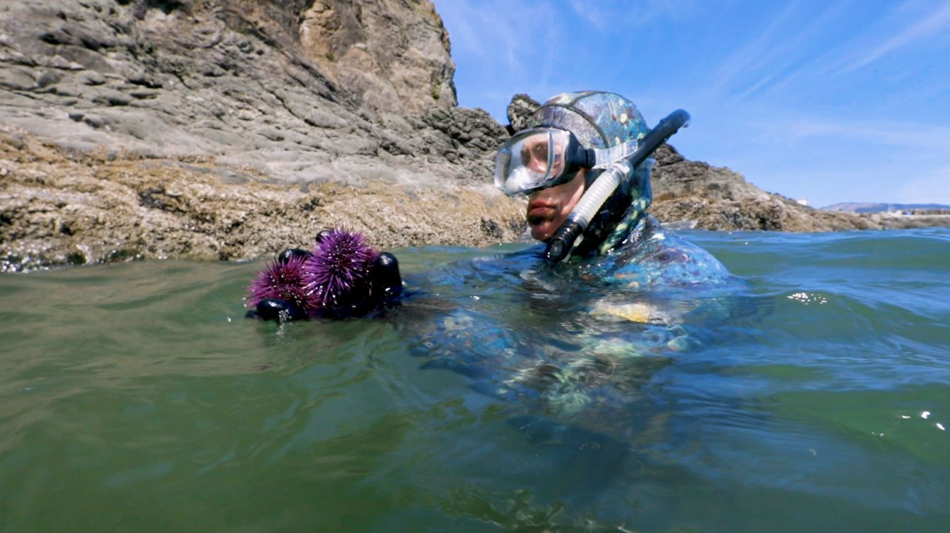 Meet the delicious purple sea creature destroying Pacific kelp forests